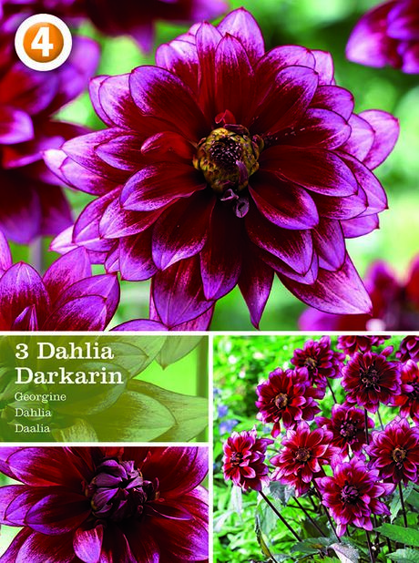 Dahlia 'Darkarin', dekorativdahlia, Lila