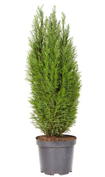 Ädelcypress, Höjd 60 cm, Blå