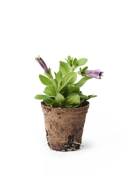 Petunia stickling, Ø6 cm, Flera färger