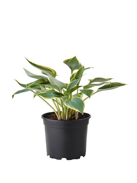 Funkia, grön- och gulbrokig, Ø17 cm, Flerfärgad