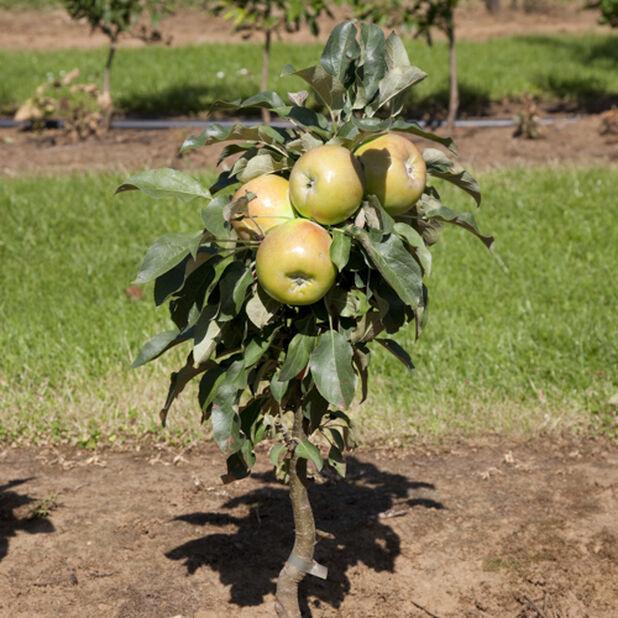Äpple 'Silva', Höjd 180 cm, Gul