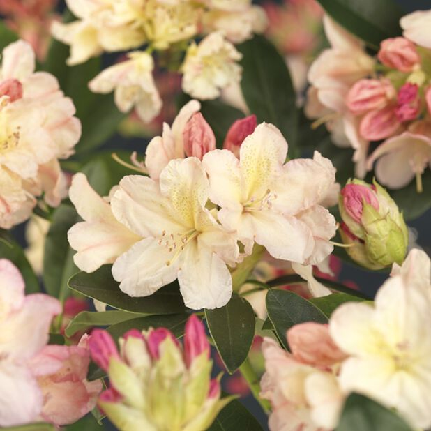 Rhododendron Yakushimanum 'Percy Wiseman' 30-40 5L