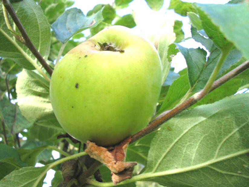 Äpple 'Åkerö' 12L