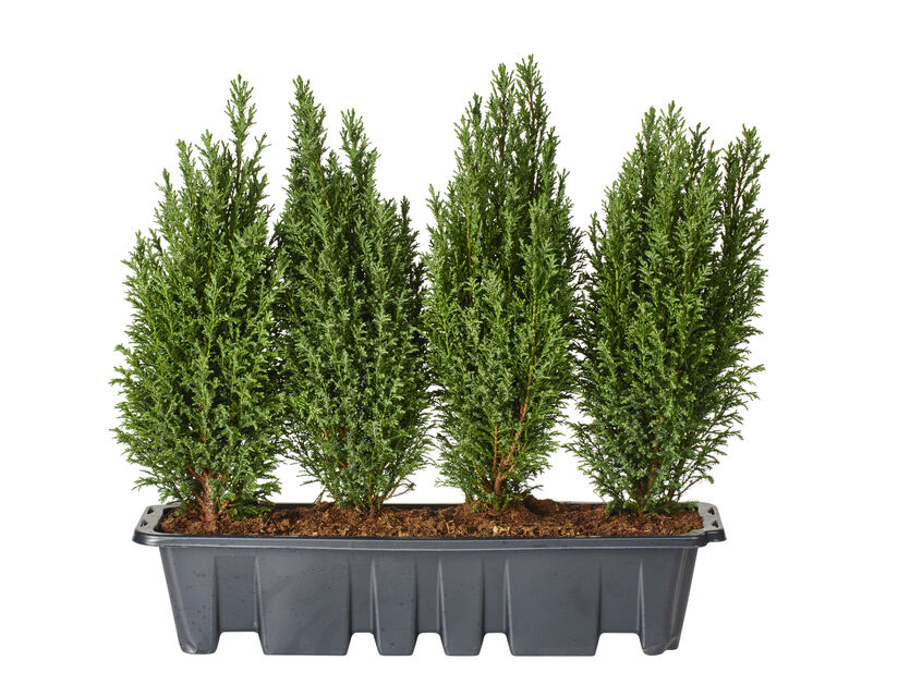 Ädelcypress 'Ellwoodii', Höjd 70 cm, Lila