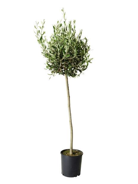 Olivträd, Ø24 cm, Grå