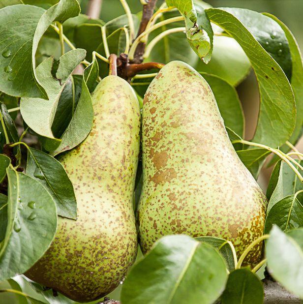 Päron 'Ksenia', Höjd 160 cm, Grön