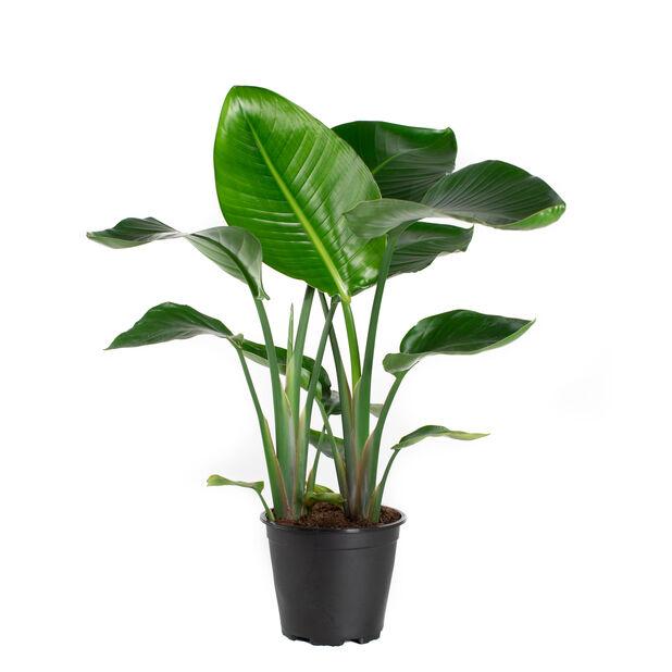Paradisblomma, Höjd 70 cm, Grön
