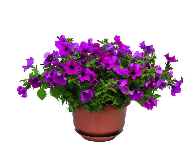 Petunia i ampel 25 cm