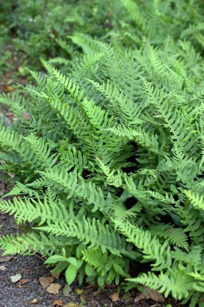 Stensöta, Höjd 15 cm, Grön