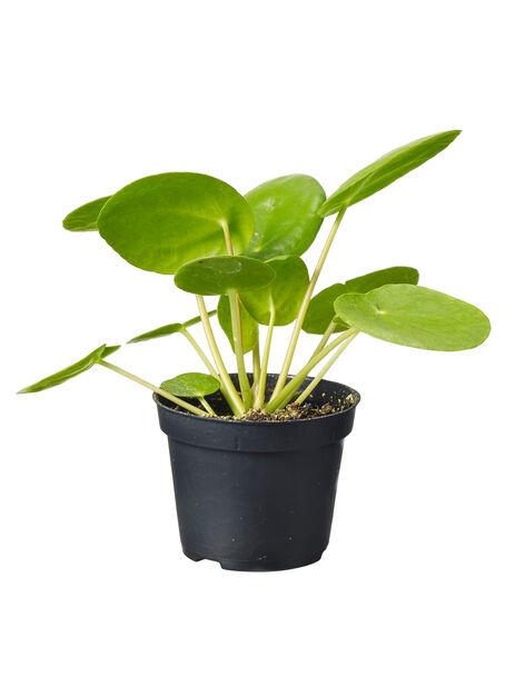 Elefantöra mini, Höjd 8 cm, Grön