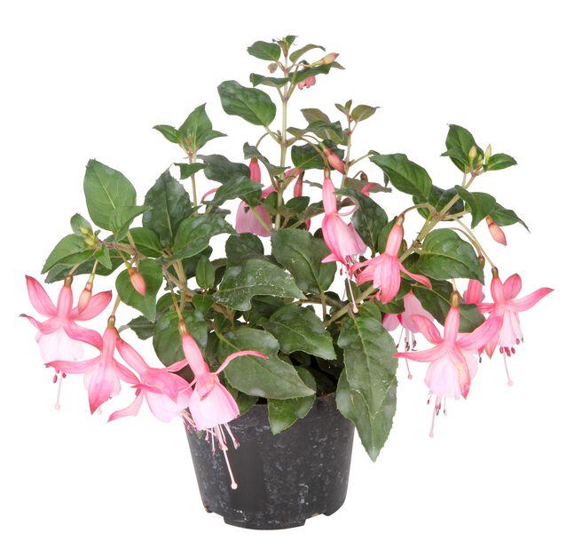 Fuchsia, Ø12 cm, Flera färger
