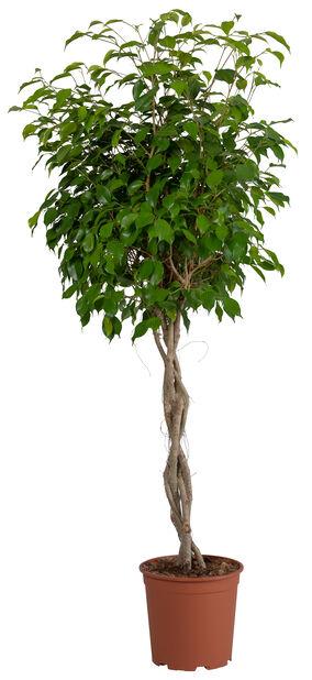 Fikus, Höjd 130 cm, Grön