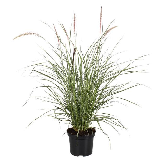 Prydnadsgräs, Ø19 cm, Flerfärgad