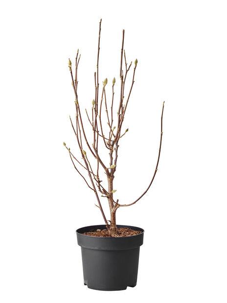 Magnolia 'Sunsation' , Ø100 cm, Gul