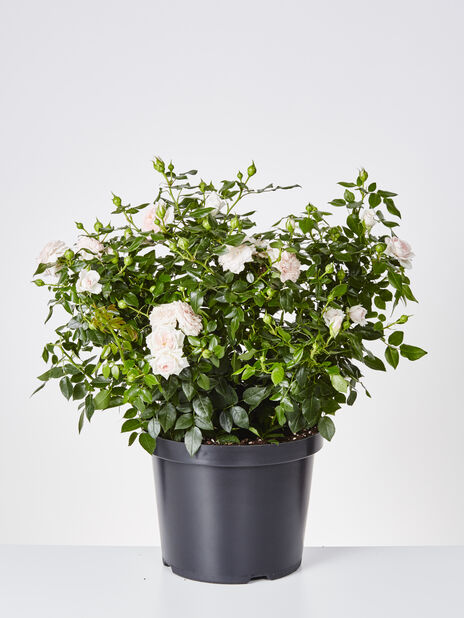 Terrassros 'Cream Flower Circus', Ø29 cm, Vit