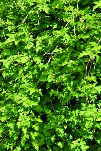 Liten stefanandra, Höjd 30 cm, Grön