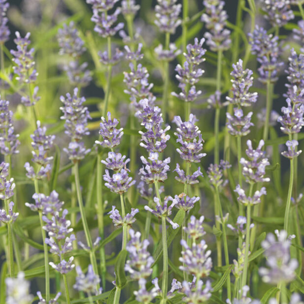 Lavendel, ljusblå, Höjd 30 cm, Blå