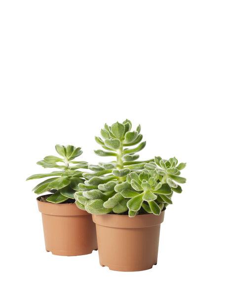 Echeveria mix 12 cm