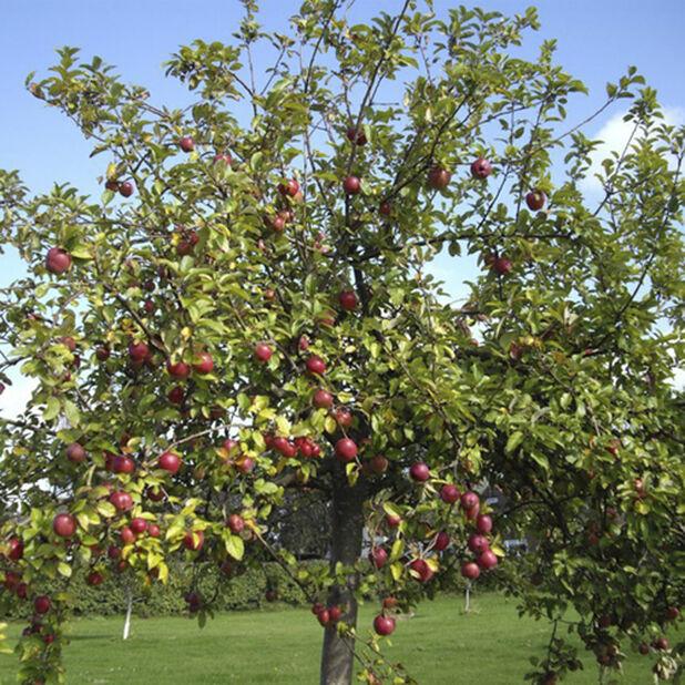 Äpple, familjeträd, Höjd 180 cm, Vit
