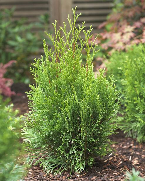 Tuja 'Smaragd', Höjd 80-100 cm, Grön