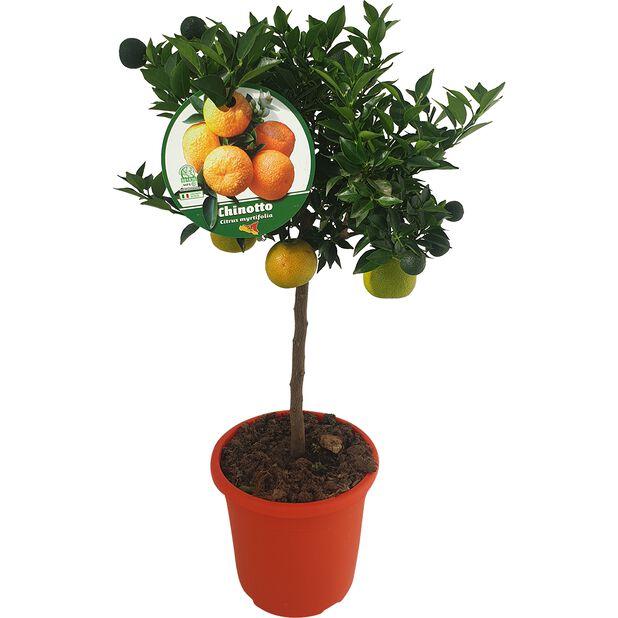 Apelsin 'Chinotto', Ø21 cm, Gul