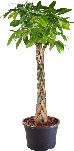 Strandkastanj, Höjd 220 cm, Grön