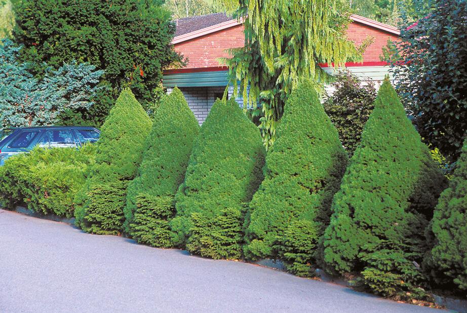 Sockertoppsgran 'Conica', Höjd 40-50 cm, Grön