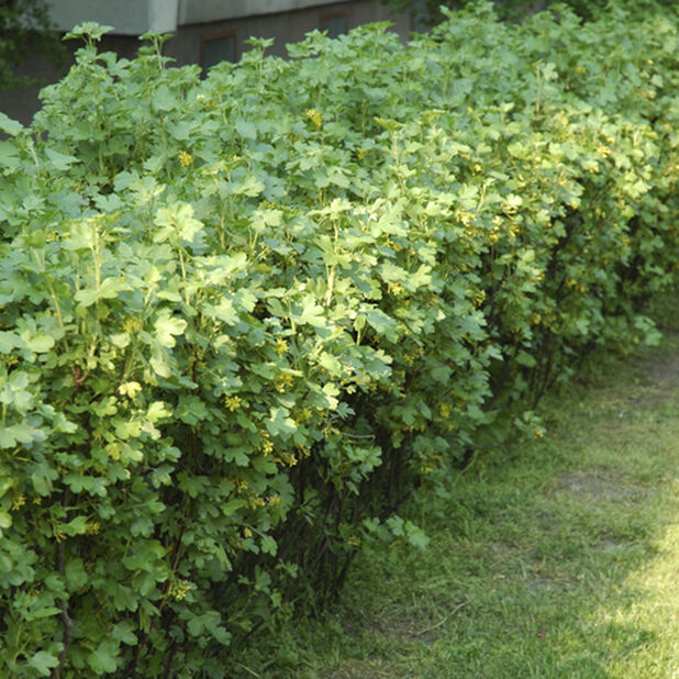 Måbär 'Schmidt' , Höjd 40 cm, Grön