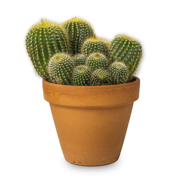 Kaktus i terrakottakruka , Höjd 15 cm, Grön