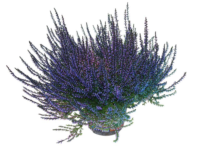Ljung färgad, Ø12 cm, Blå