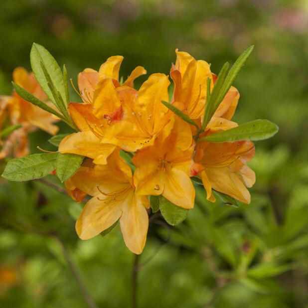 Mollis-azalea 'Hortulanus H. Witte' , Ø19 cm, Orange