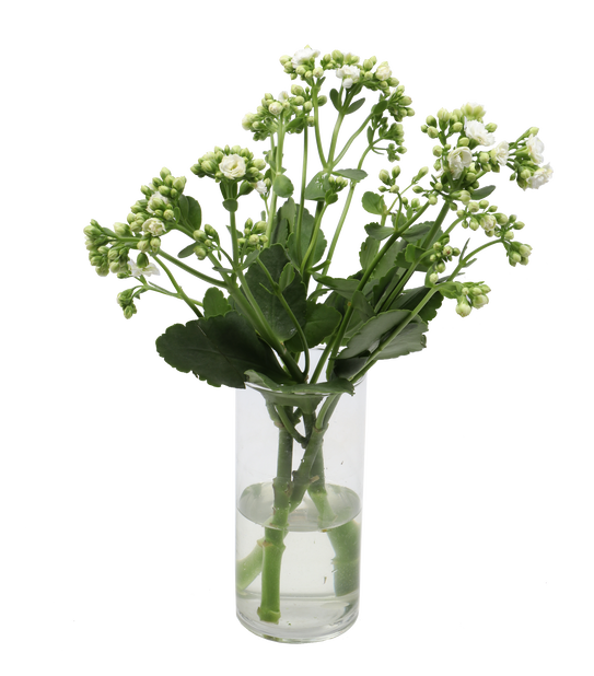 Kalanchoe 'Queen' 3-pack