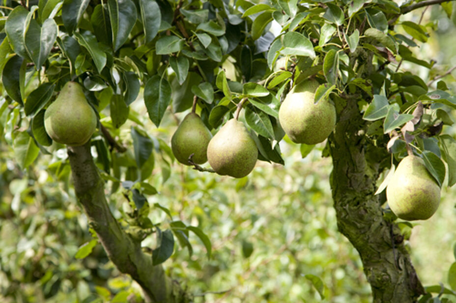 Päron 'Gråpäron'