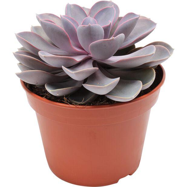 Echeveria 'Purple Pearl', Höjd 20 cm, Lila