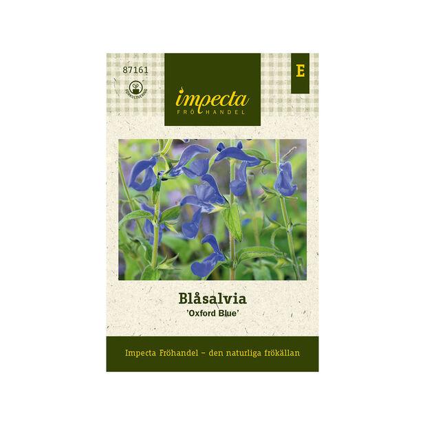 Blåsalvia 'Oxford Blue', Blå