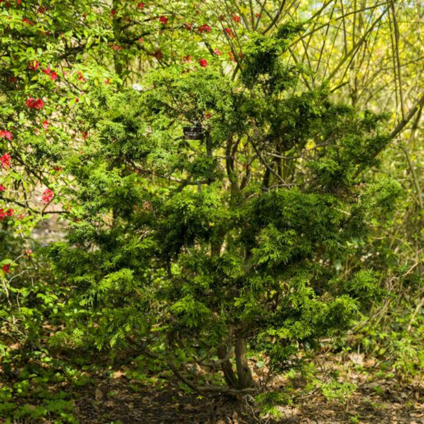 Japansk ädelcypress 'Lycopodioides' , Ø26 cm, Grön