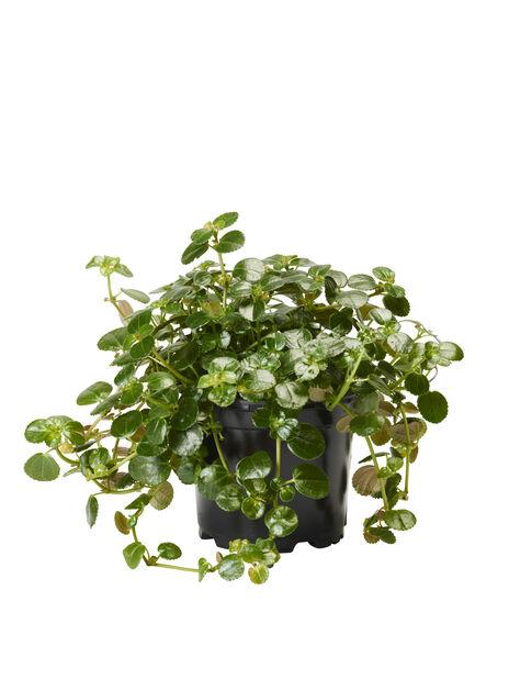 Glanspilea, Höjd 15 cm, Grön