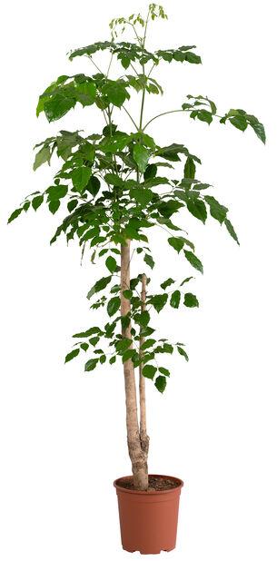 Rumsask , Höjd 135 cm, Grön