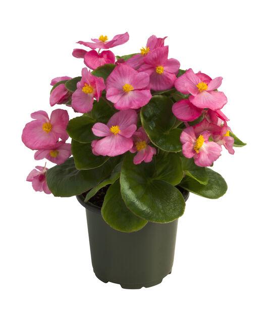 Isbegonia, Ø10.5 cm, Flera färger