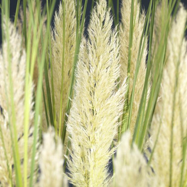 Pampasgräs 'Tiny Pampas', Höjd 50 cm, Grön
