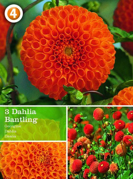 Pompondahlia 'Bantling', Orange