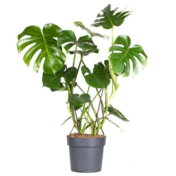 Monstera, Höjd 90 cm, Grön