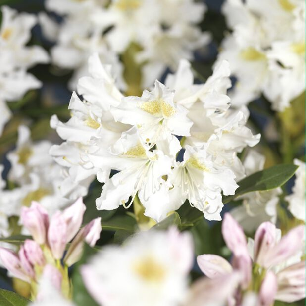 Parkrhododendron 'Cunningham White' 5L