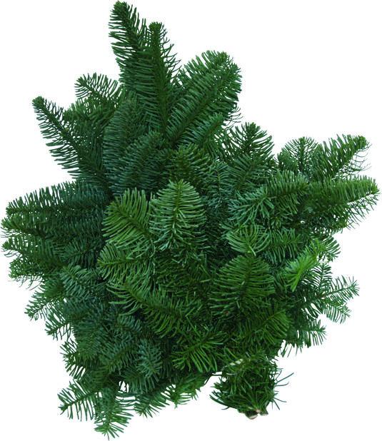 Granris nobilis, Höjd 40 cm, Grön