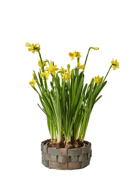 Minipåsklilja 'Tête-à-Tête', Ø17 cm, Gul