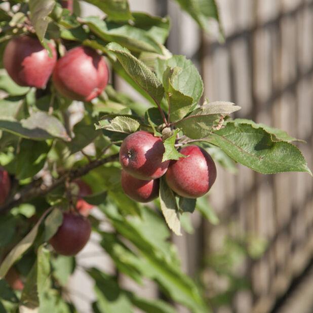 Pelaräpple 'Suncats' , Höjd 80 cm, Röd