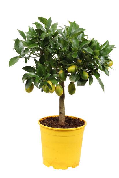 Limequat, Ø19 cm, Gul