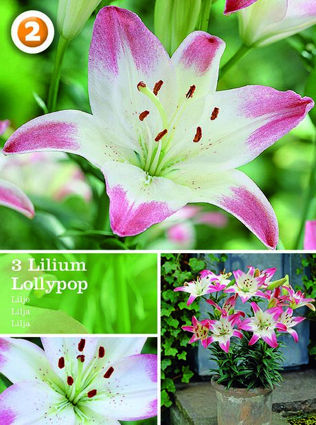 Asiatisk lilja 'Lollypop'