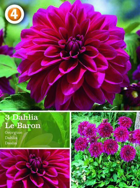 Dahlia 'Le Baron', Lila