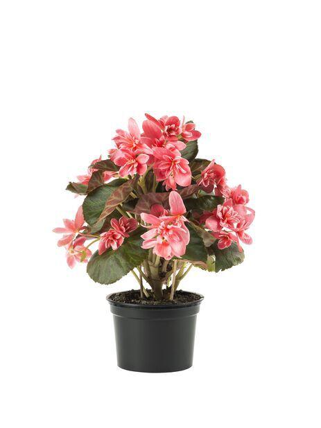 Höstbegonia 'Ceveca', Höjd 25 cm, Rosa